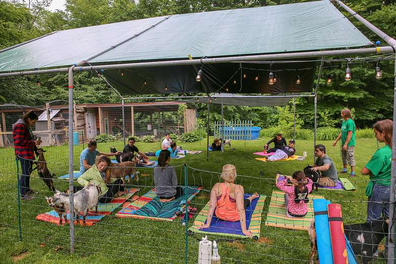 tent with goats and people doing yoga