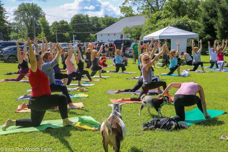 Vischer Ferry goat yoga