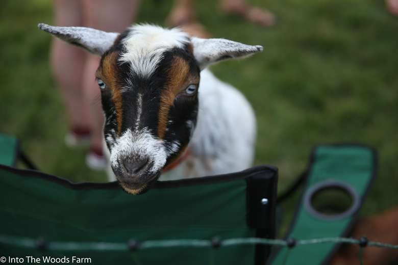 Goat in chair
