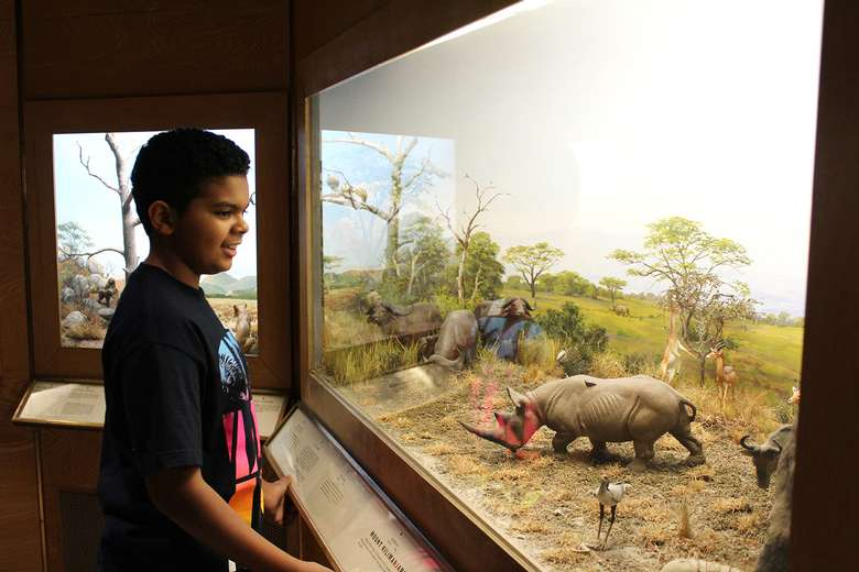 A pre-teen views a diorama featuring rhinoceroses in Animals of the World in Miniature