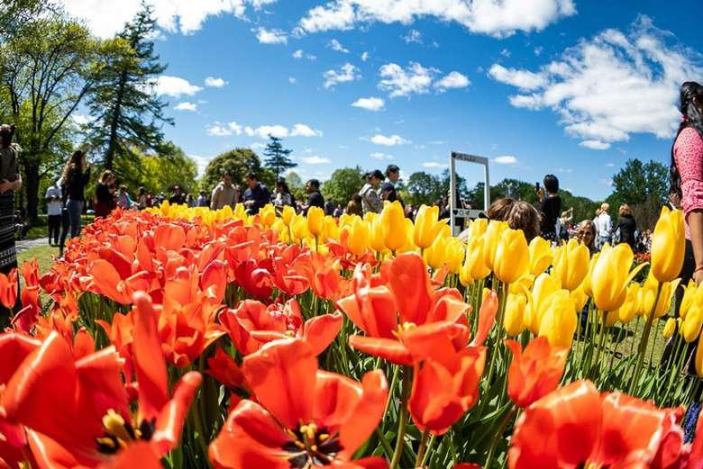 yellow and orange tulips with people walking nearby