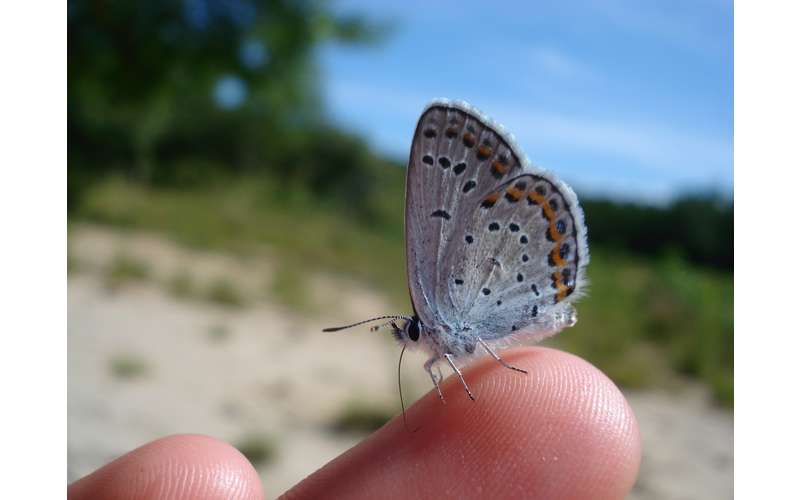 a Karner blue butterfly on the tip of someone's finger