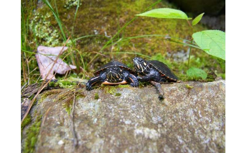 two small turtles on a rock