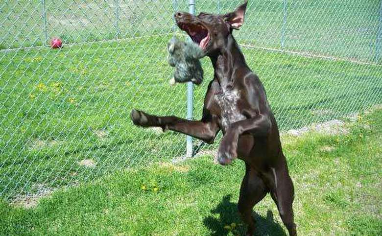 brown dog jumping in the air to grab a toy