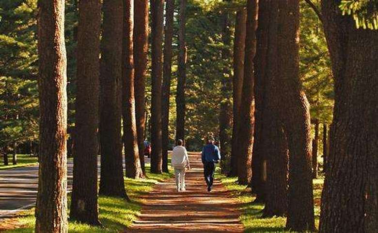 people walking on a path between two rows of tall pine trees