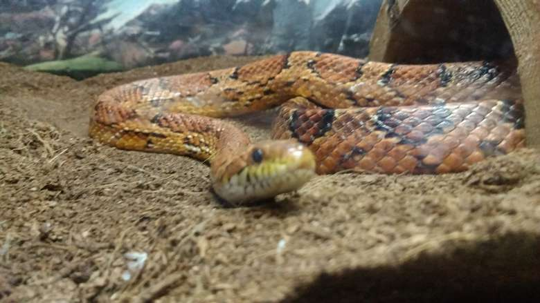 Snake in a tank