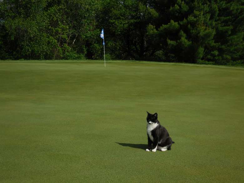 black and white cat sitting on a golf course green