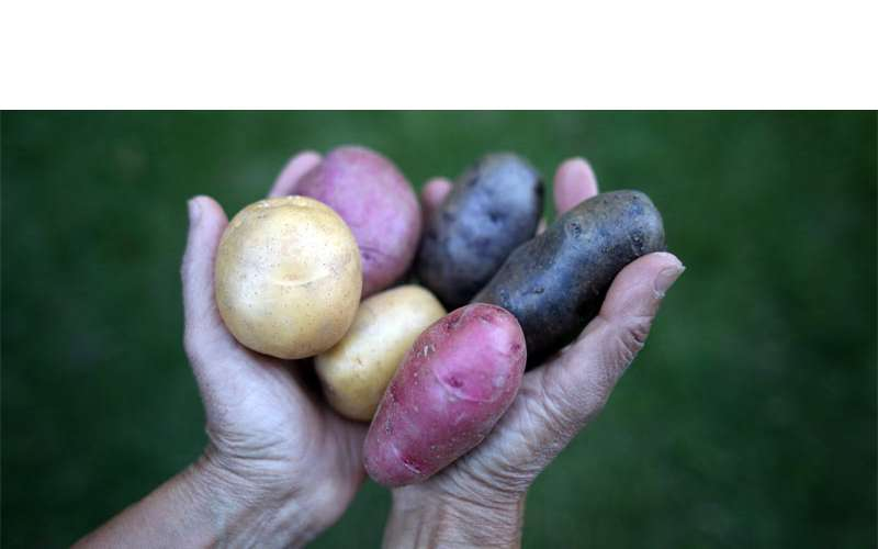 Potatoes are one of the biggest crops at Lant Hill. | Photo courtesy of Ellie Markovitch
