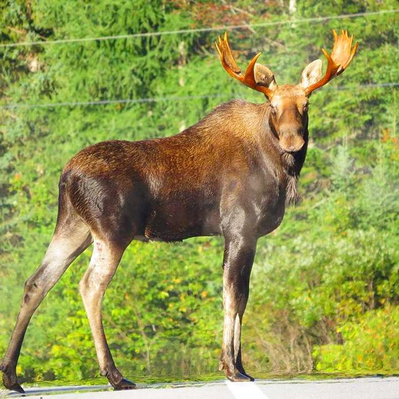 large moose caught on camera in long lake