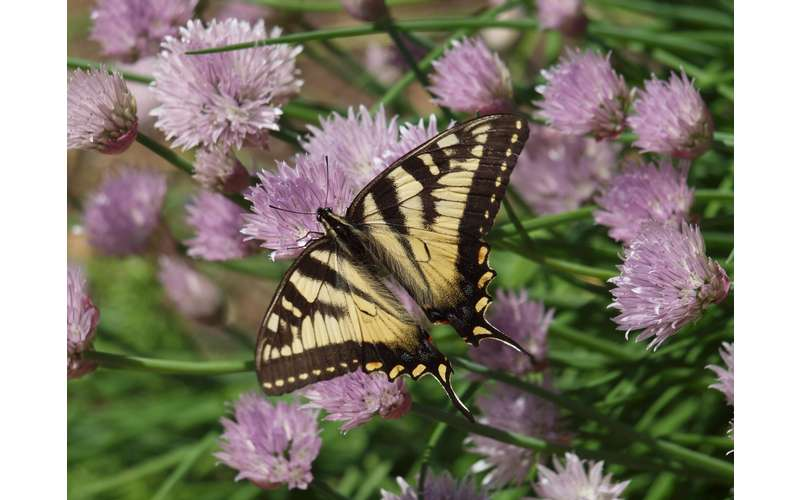a yellow and black butterfly on a flower