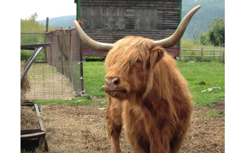 a brown highland cow with big horns
