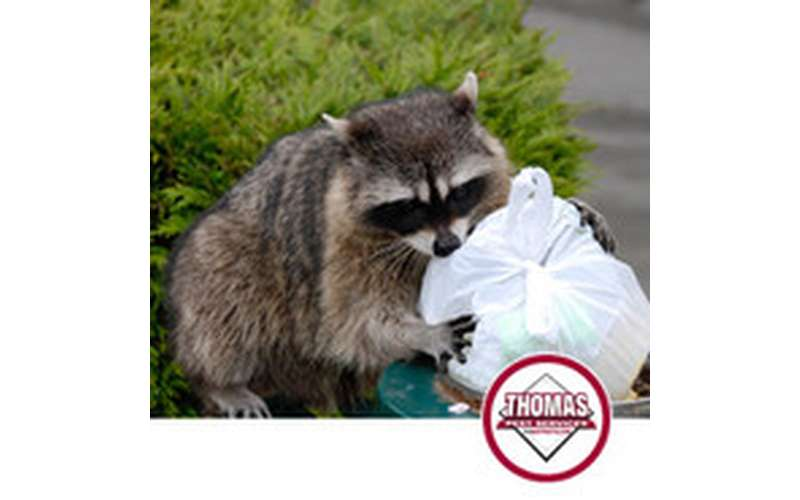 Racoon and Wildlife Removal