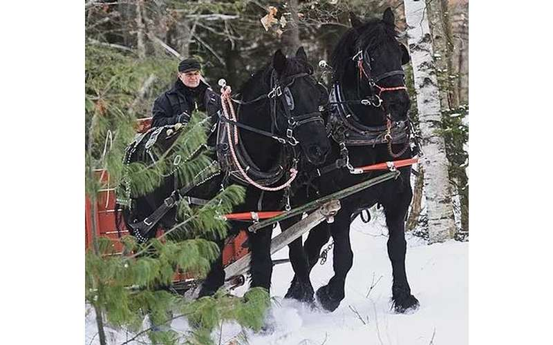 black horses pulling a sleigh