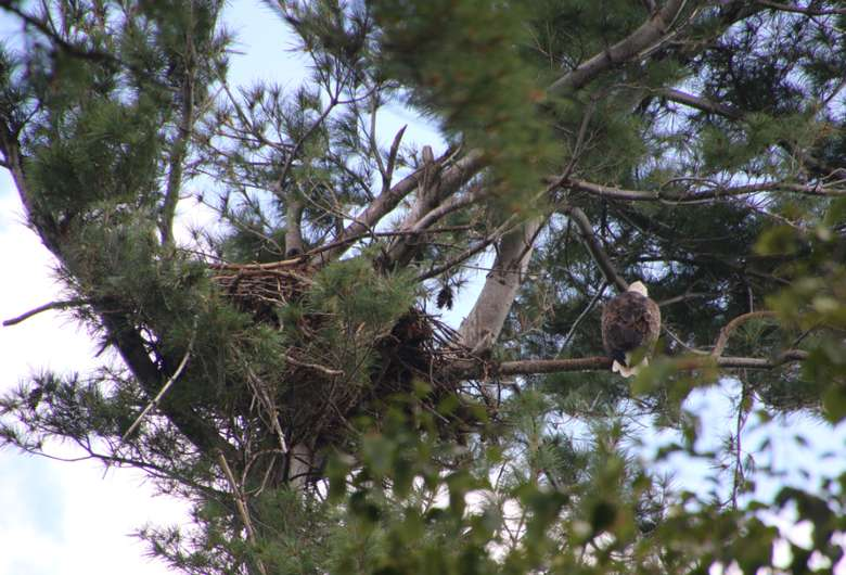 the nest of a bald eagle in a tree