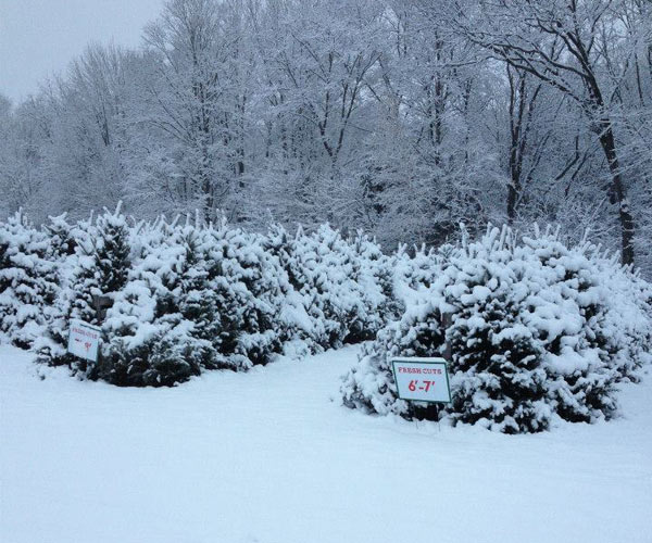 snowy trees at a christmas tree farm