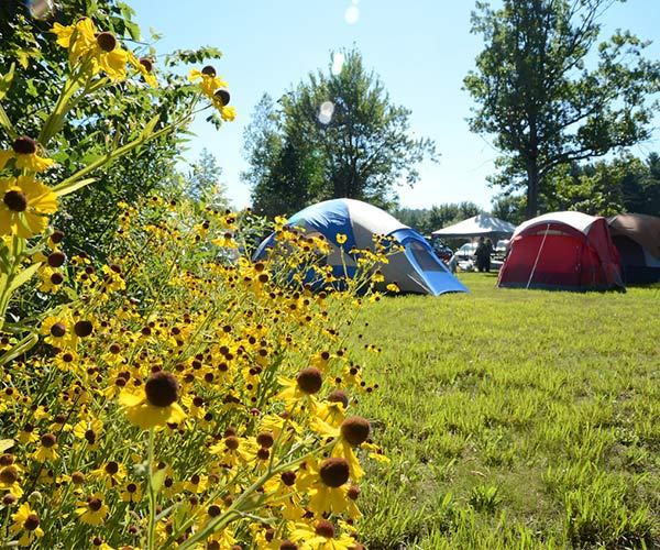 tents at a campground with sunflowers in the foreground