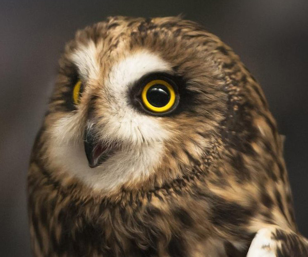 short-eared owl image