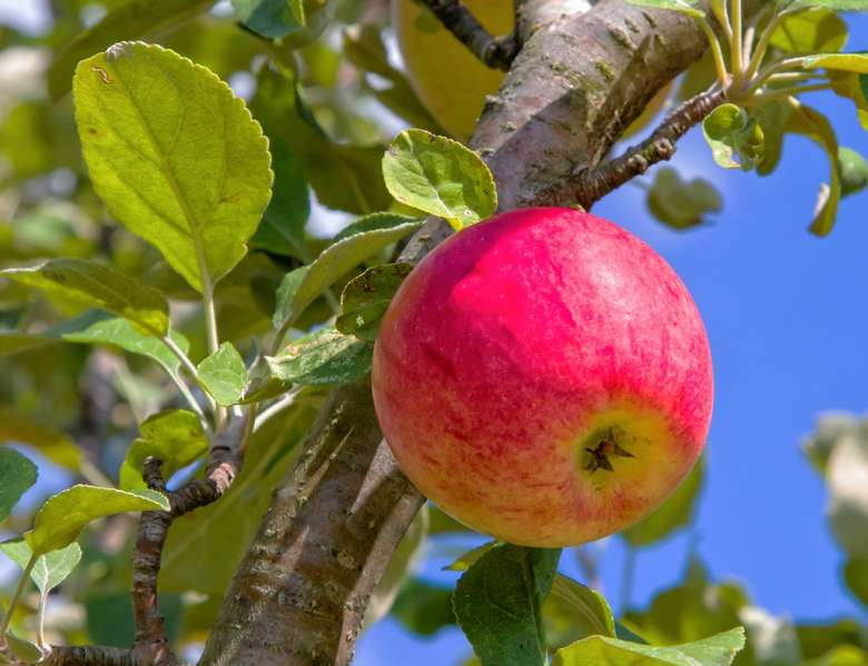 bright red apple in a tree