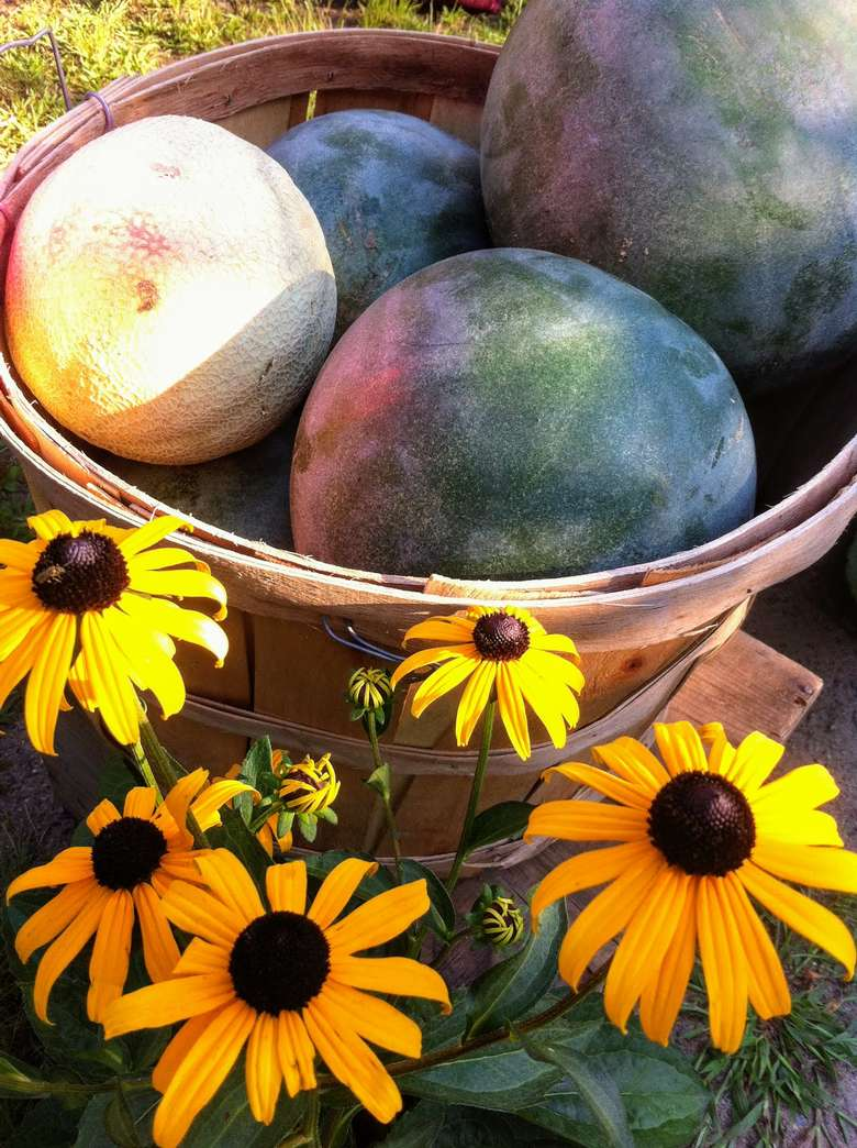 sunflowers by melons