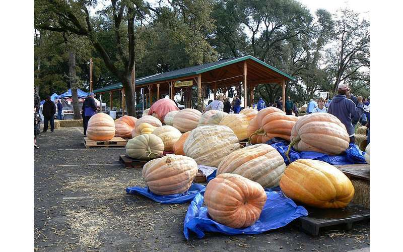 giant pumpkins showcased near a pavilion