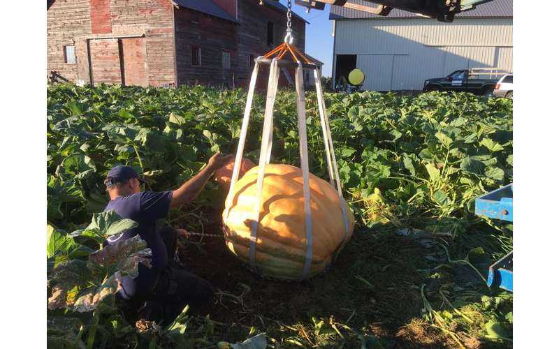 a giant pumpkin being weighed in a field
