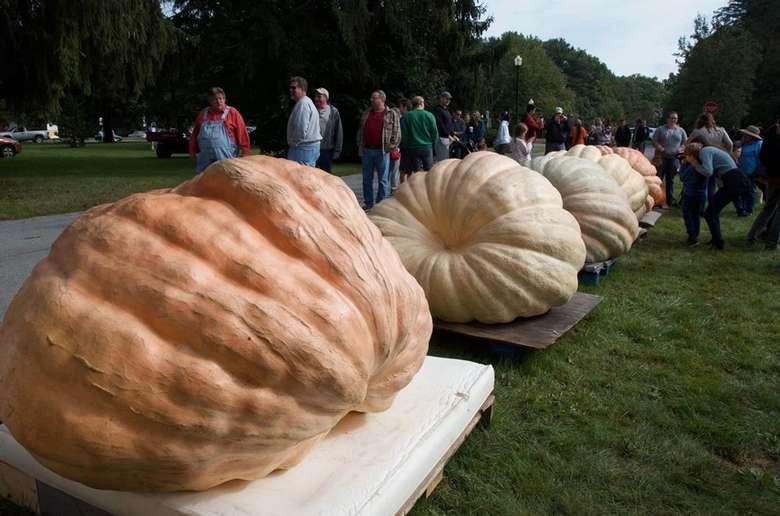 massive pumpkins in a row
