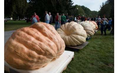 massive pumpkins in a row