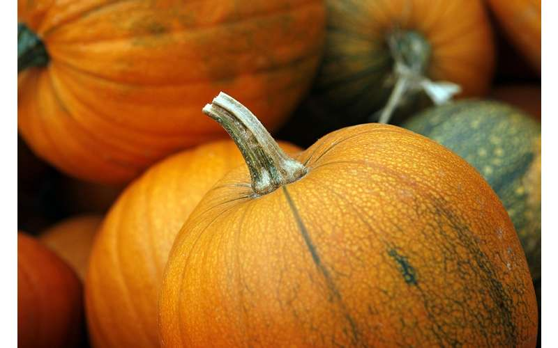 orange pumpkins and one green pumpkin