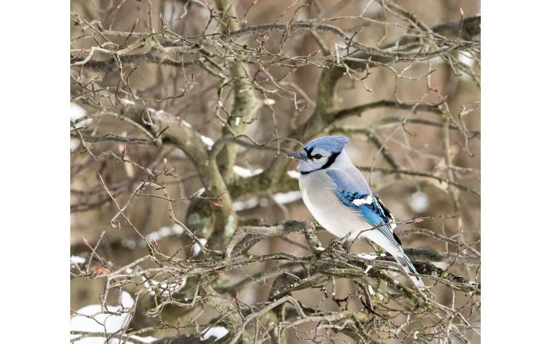 a blue jay in the winter in a tree
