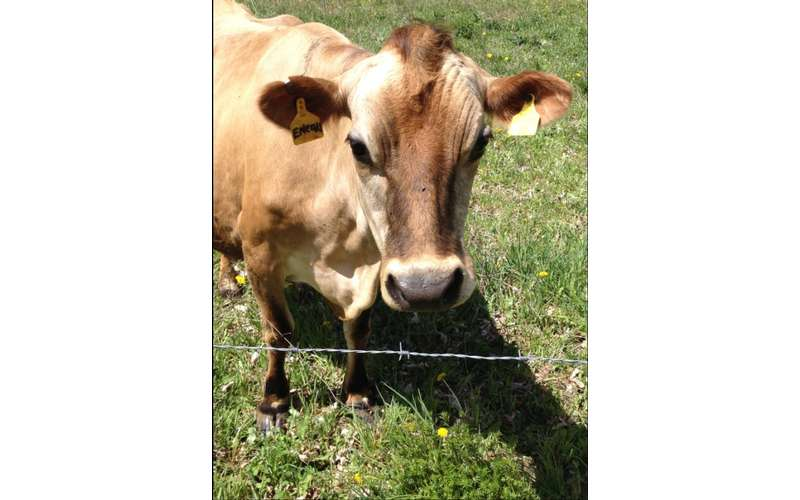 a brown cow by an electrical fence
