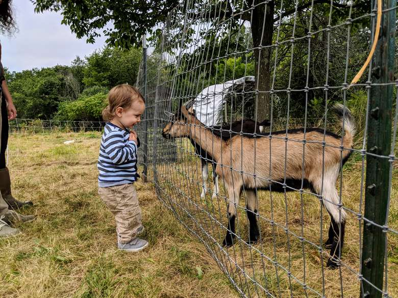 toddler looking at goat