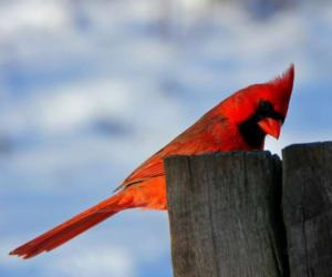 a red cardinal on a post in winter