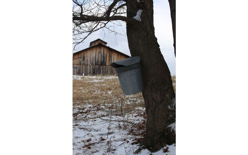 a tree with sap bucket