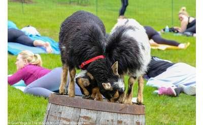 Monday Evening Goat Yoga @ The Saratoga Winery