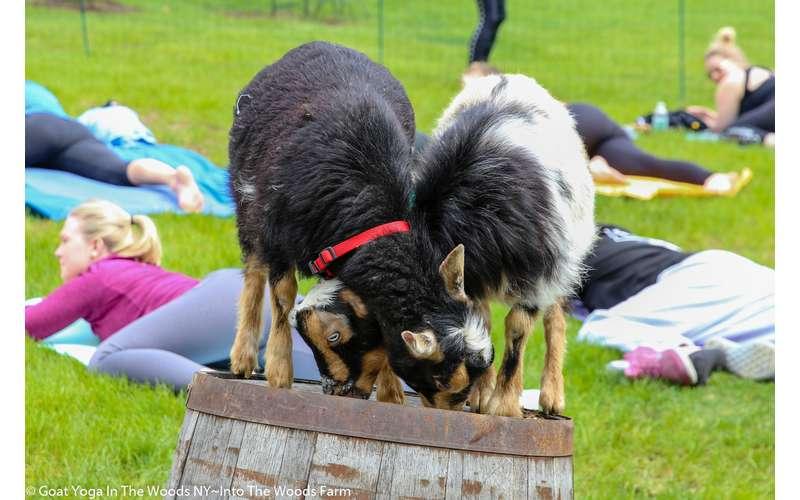 Goat Yoga @ The Saratoga Winery September