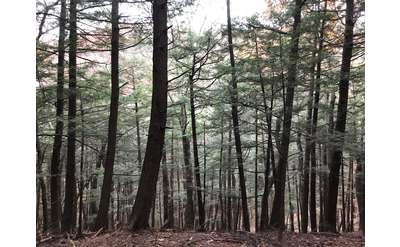 Healthy Hemlock Trees