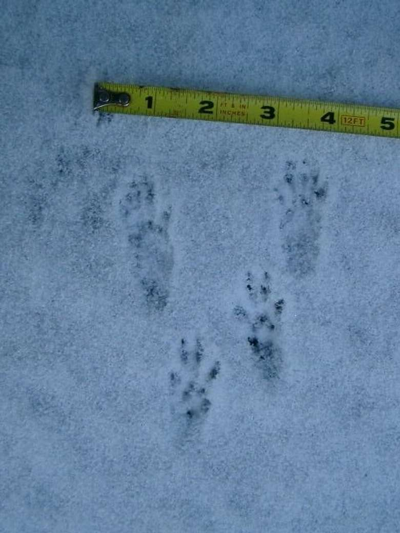 Red squirrel tracks in the snow