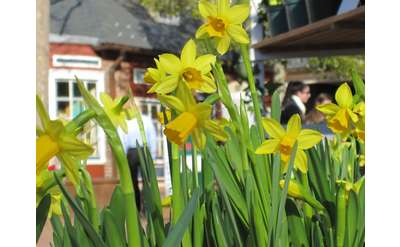 Daffodils at the Market