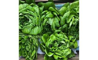 Fall lettuce at the Market