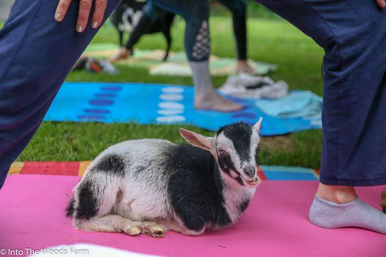 Goat Yoga In The Woods NY