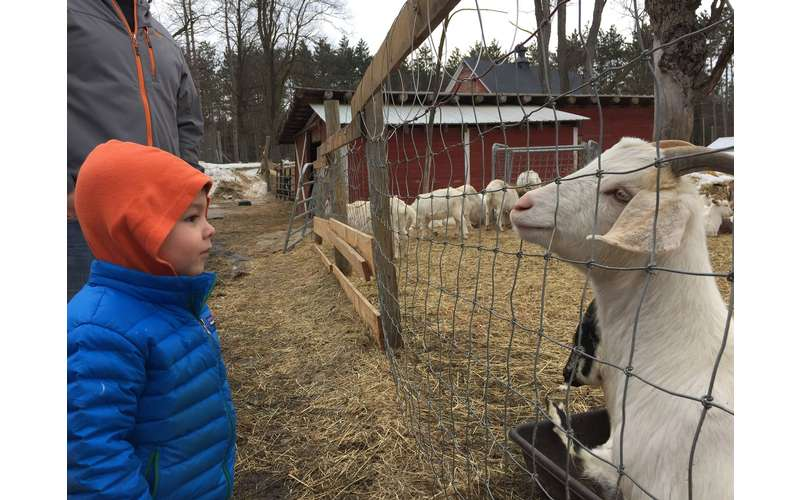 a child looking at a goat