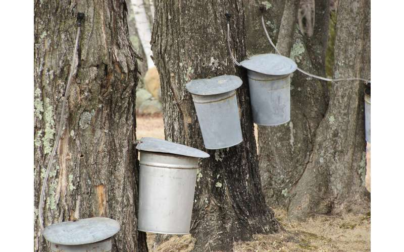 canisters on trees to collect sap