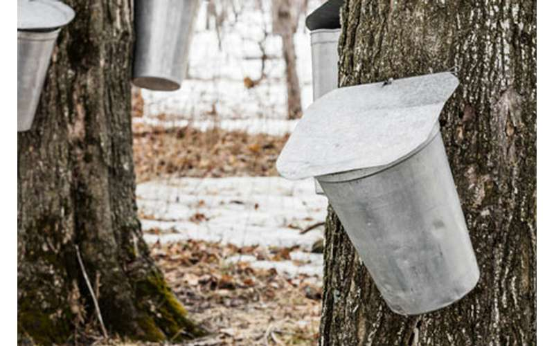 maple bucket on a tree