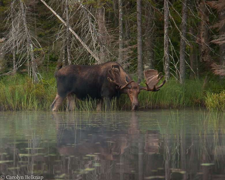 moose drinking from a pond