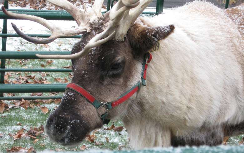 up close view of a reindeer