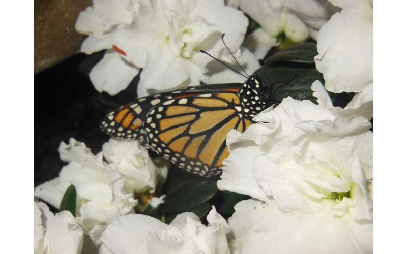 a monarch butterfly on a white flower