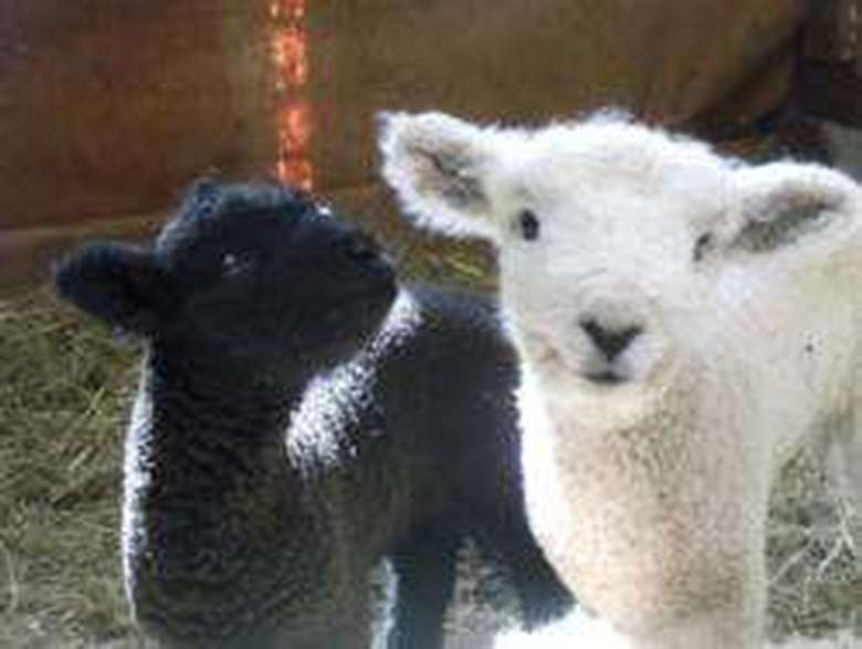 black and white lambs