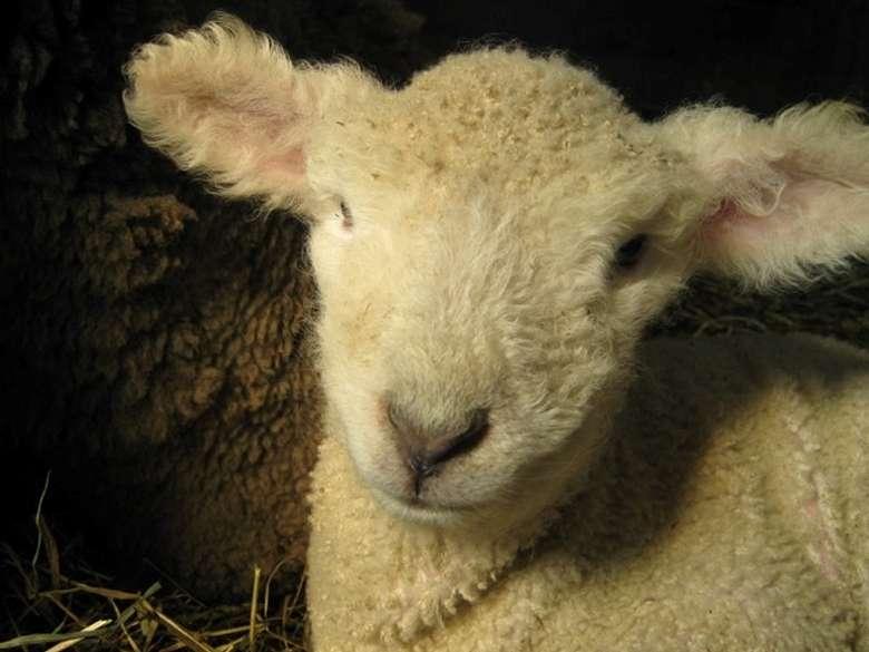 close up of lamb's face