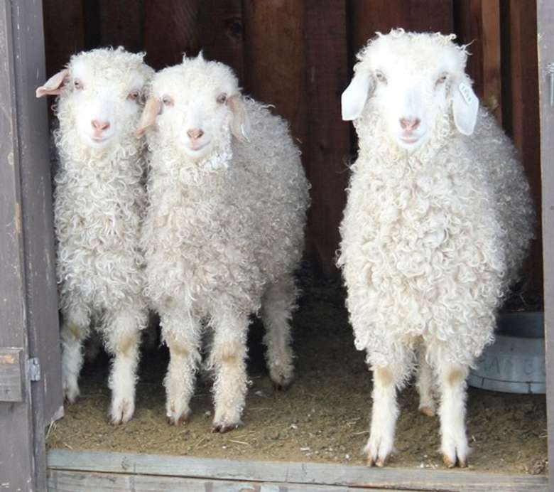 three young lambs