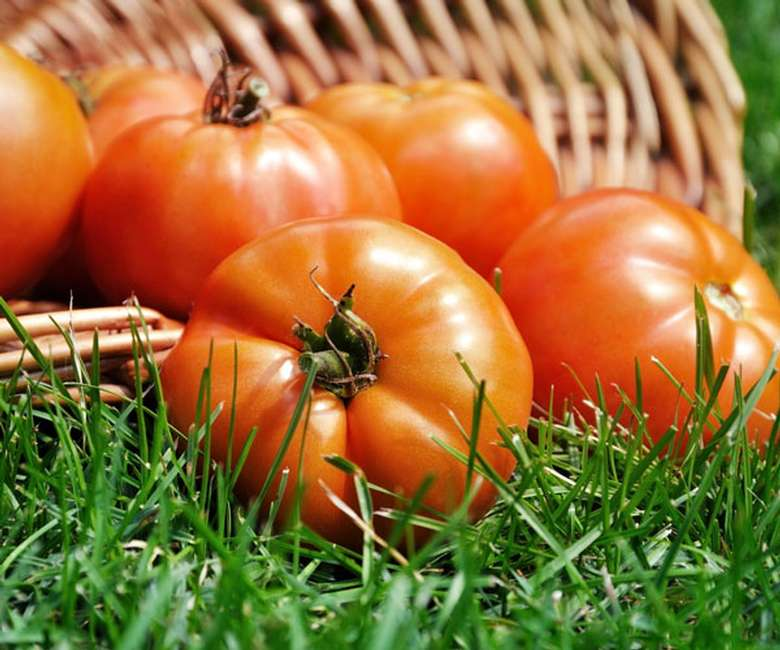 tomatoes on grass